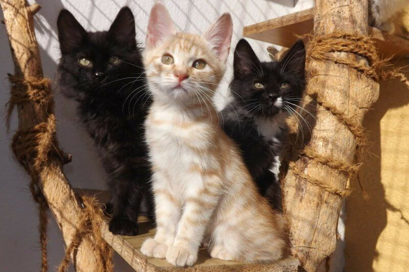 На фото котята породы Курильский бобтейл
