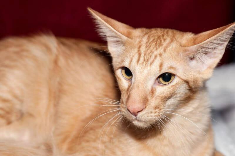 На фото кот породы Яванез