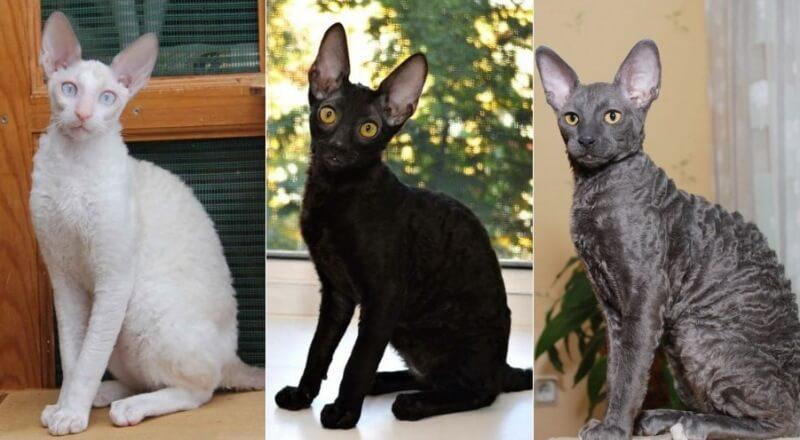На фото кошки породы Корниш-рекс популярных окрасов