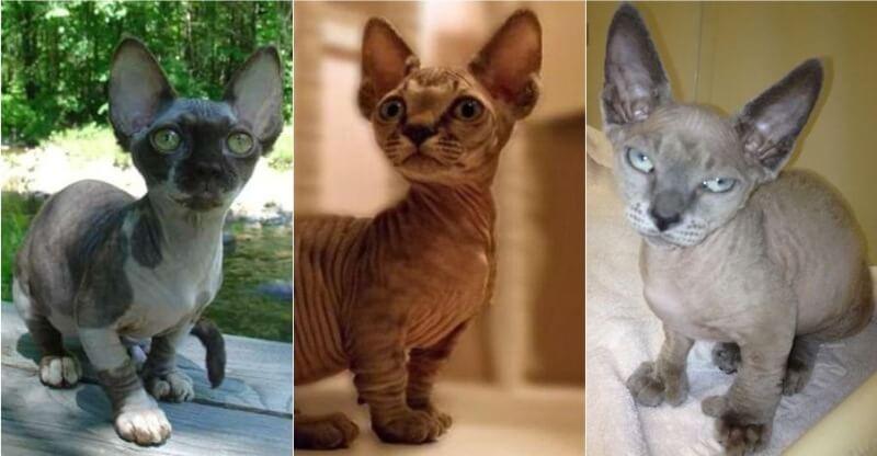 На фото кошки породы Минскин популярных окрасов