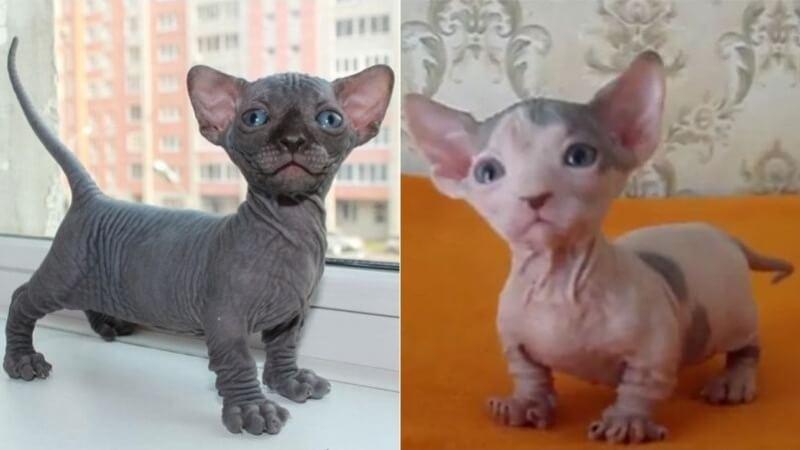 На фото котята породы Бамбино
