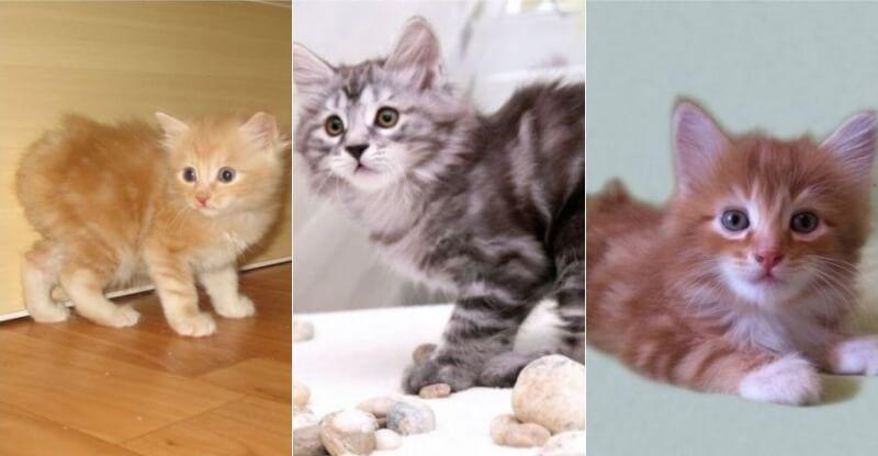 На фото котята породы Карельский бобтейл