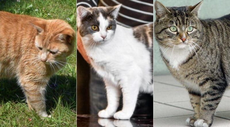 На фото кошки породы Мэнкс популярных окрасов