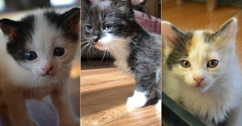 На фото котята породы Японский бобтейл