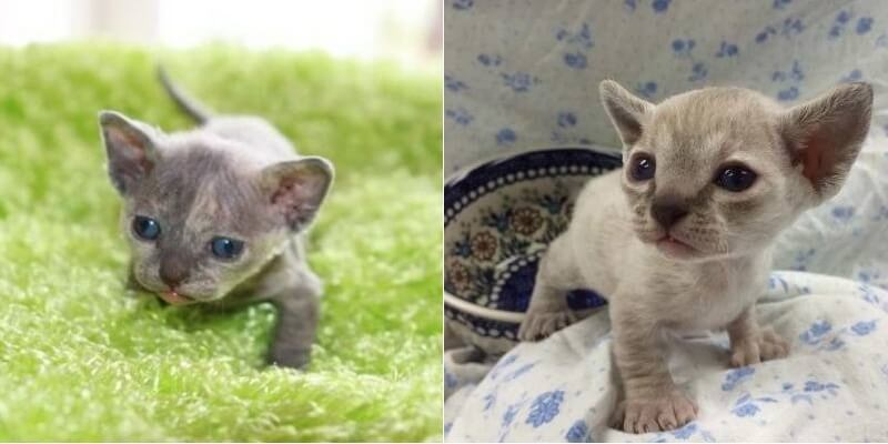 На фото котята породы Минскин