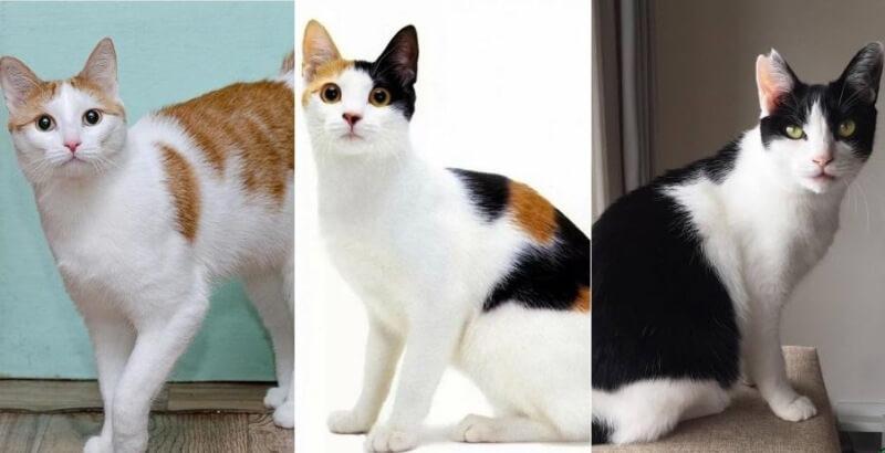На фото кошки породы Японский бобтейл популярных окрасов