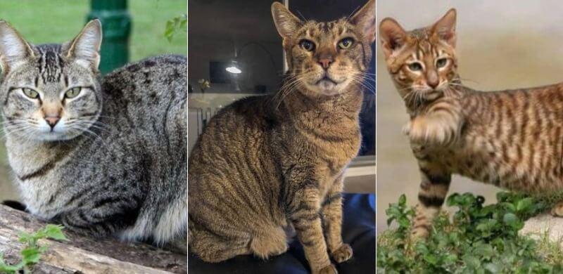 На фото кошки породы Канаани популярных окрасов