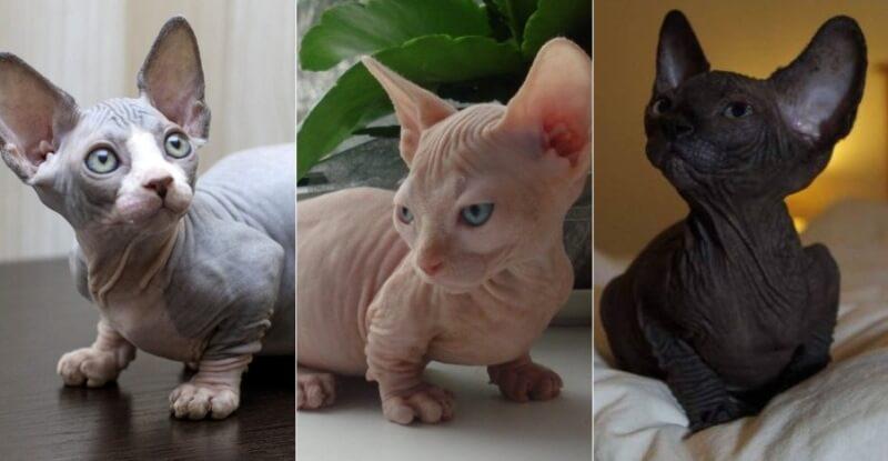 На фото порода кошек Бамбино популярных окрасов