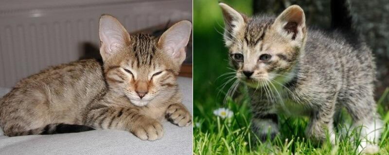 На фото котята породы Канаани