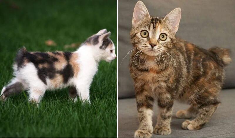 На фото котята породы Мэнкс