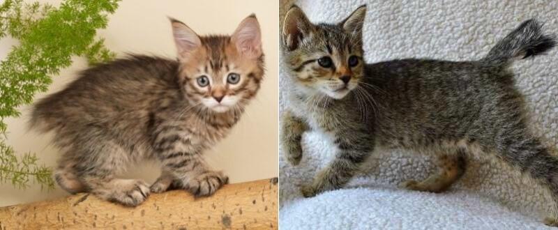 На фото котята породы Пиксибоб