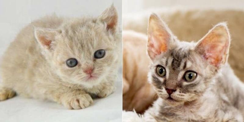 На фото котята породы Орегон рекс