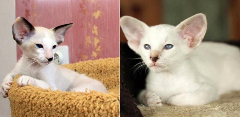 На фото котята сейшельской породы