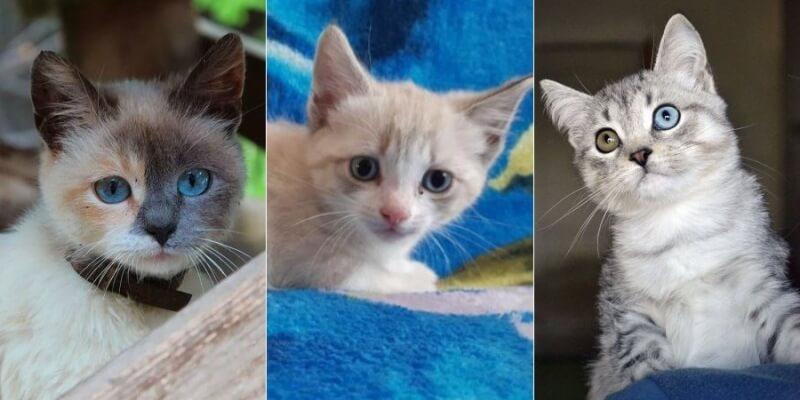 На фото котята породы Охос азулес