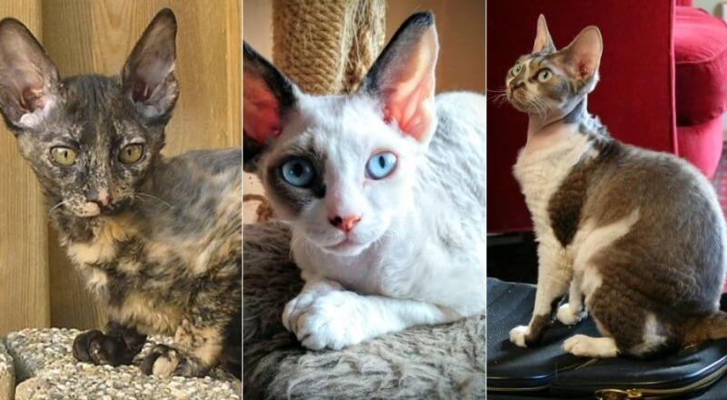 На фото кошки породы Орегон рекс популярных окрасов