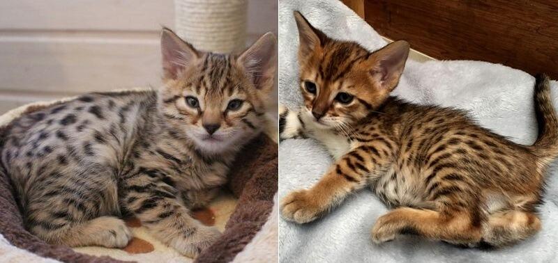 На фото котята породы Саванна