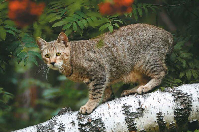 На фото кошка породы Пиксибоб окраса Brown Spotted Tabby