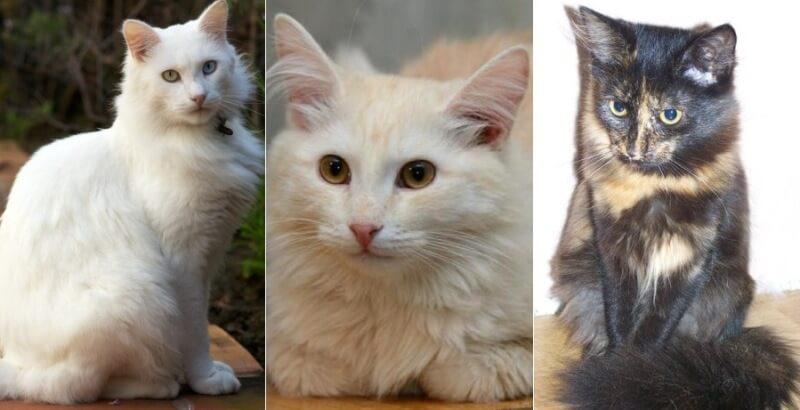 На фото кошки породы Турецкая ангора популярных окрасов