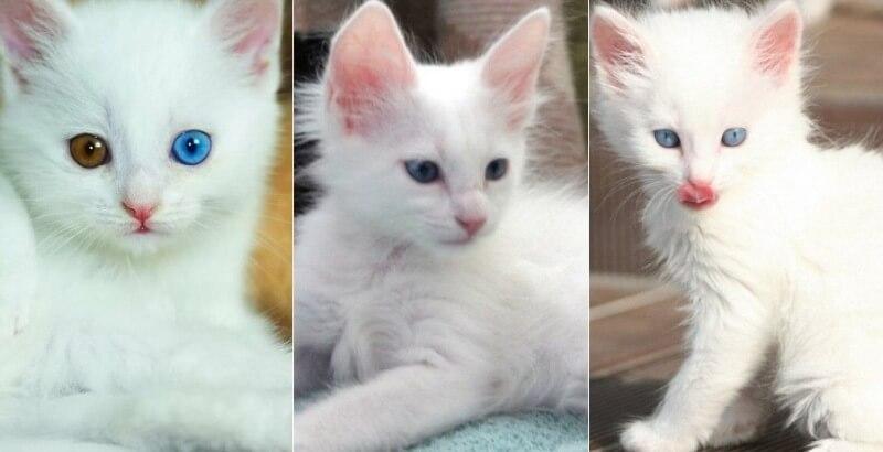 На фото котята породы Турецкая ангора