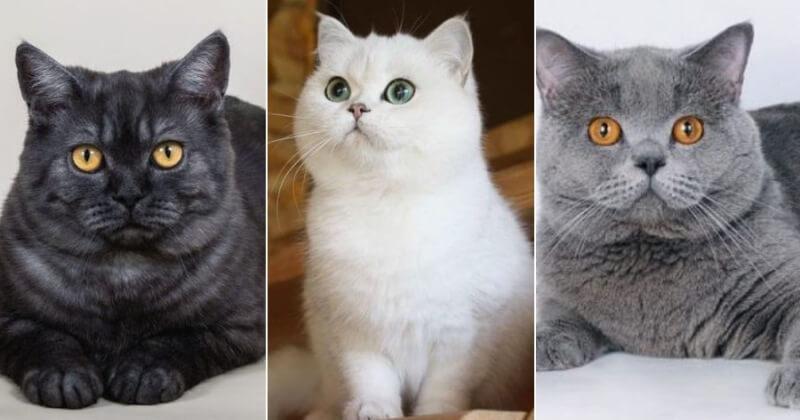 На фото кошки породы Скоттиш страйт популярных окрасов