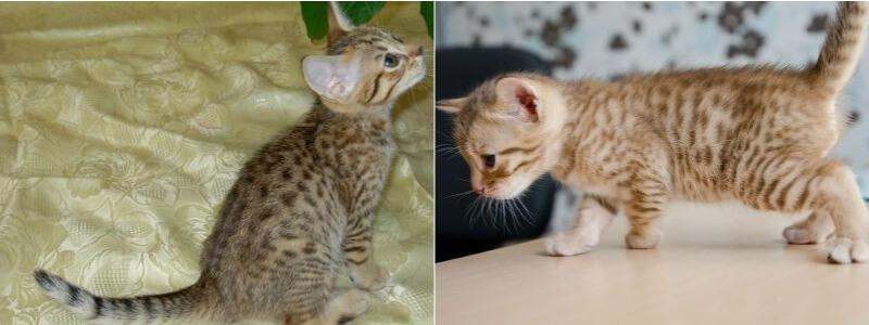 На фото котята породы Оцикет