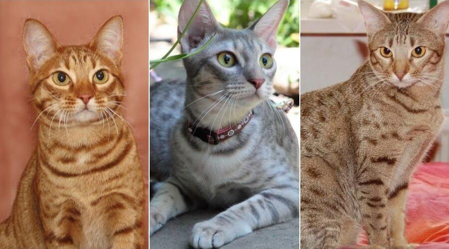 На фото кошки породы Оцикет популярных окрасов