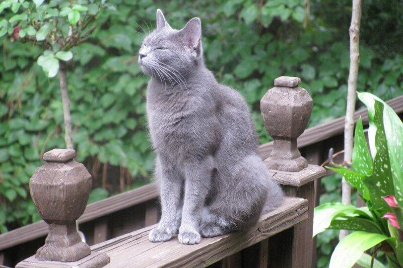 На фото кот породы Русская голубая