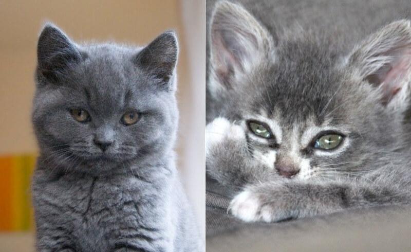 На фото котята породы Шартрез