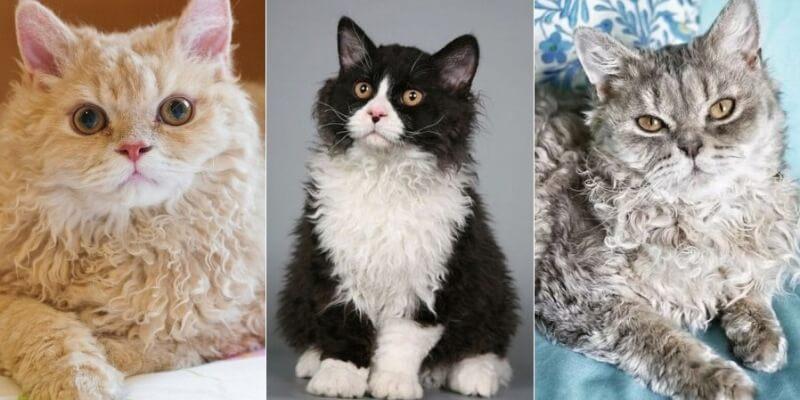 На фото кошки породы Селкирк рекс популярных окрасов