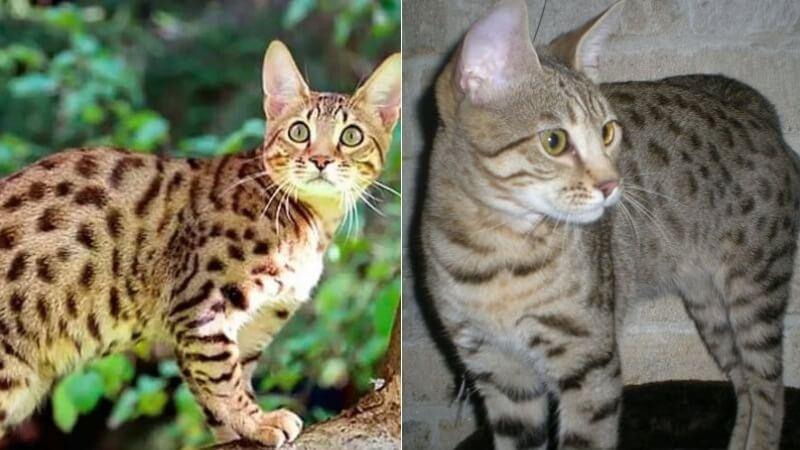 На фото кошки породы Серенгети популярных окрасов