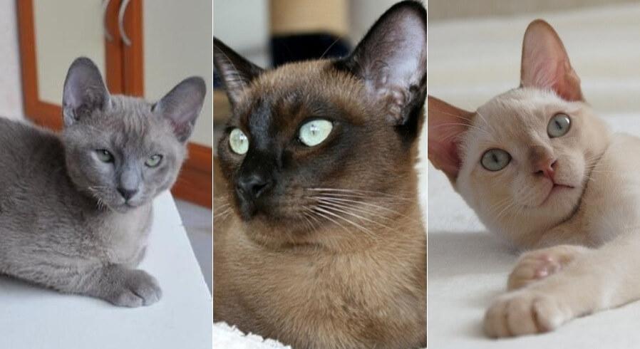 На фото Тонкинская кошка (Тонкинез) популярных окрасов