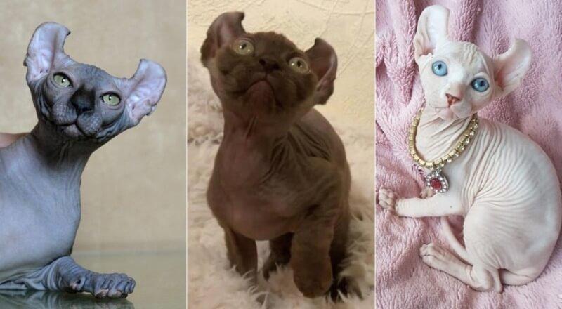 На фото кошки породы Эльф популярных окрасов