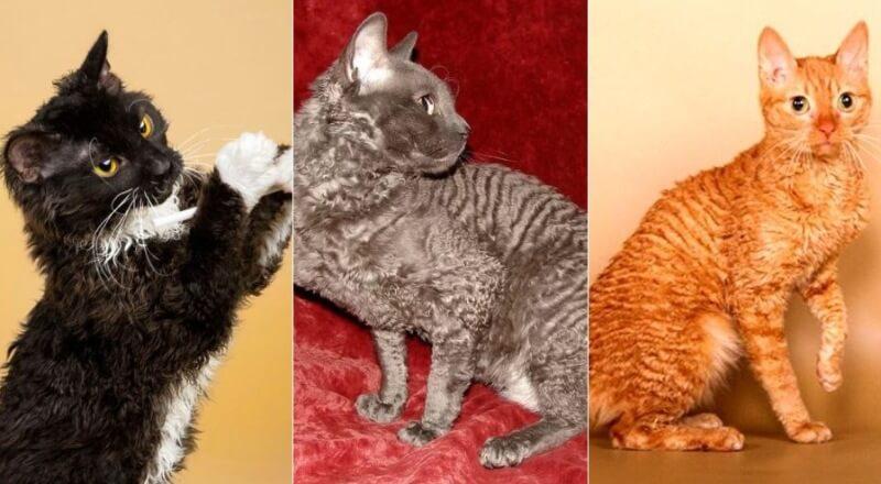 На фото кошки породы Уральский рекс популярных окрасов