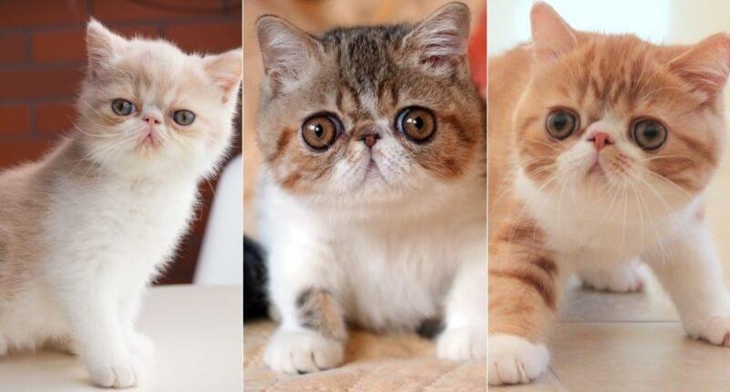 На фото котята Экзотической породы