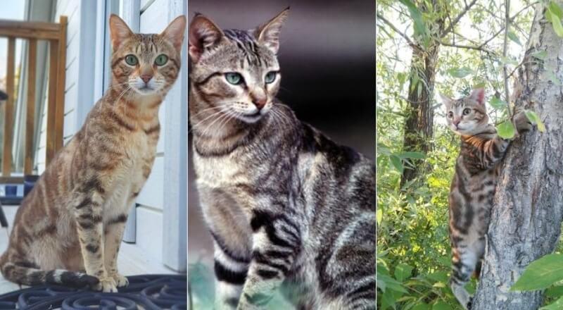 На фото кошки породы Сококе популярных окрасов