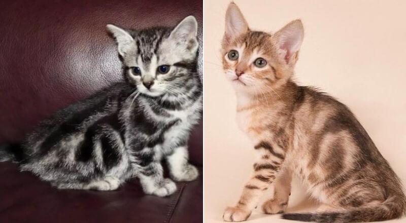 На фото котята породы Сококе
