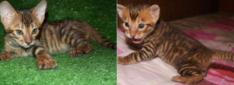 На фото котята породы Тойгер