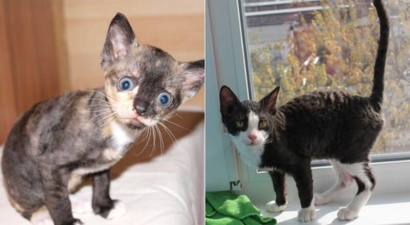 На фото котята породы Уральский рекс