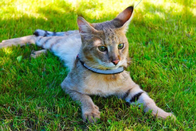 На фото кот породы Чаузи (Хауси) на прогулке в парке
