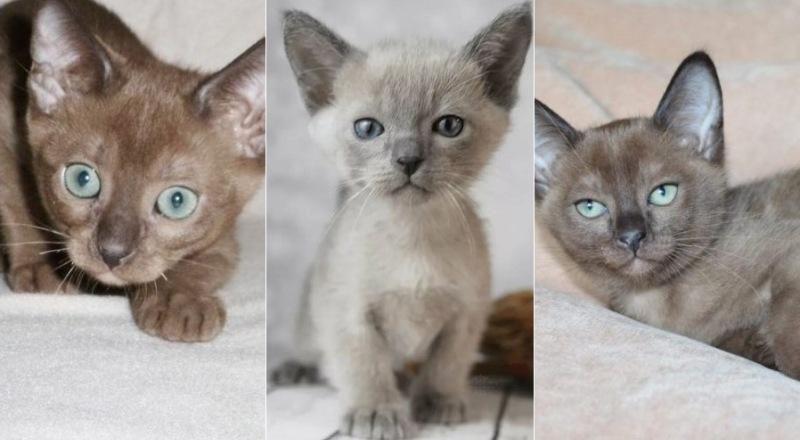 На фото котята Тонкинской породы (Тонкинез)