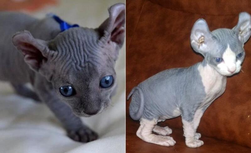 На фото котята породы Эльф