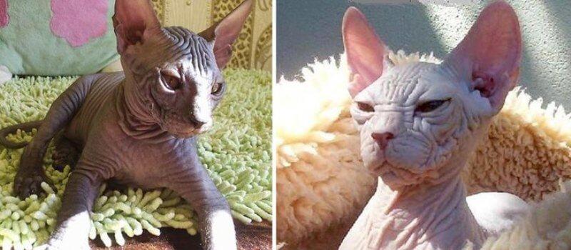 На фото кошки породы Кохона популярных окрасов