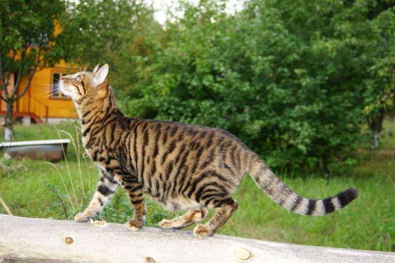 На фото кошка породы Тойгер правильного окраса