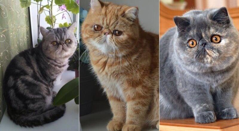 На фото Экзотическая кошка популярных окрасов