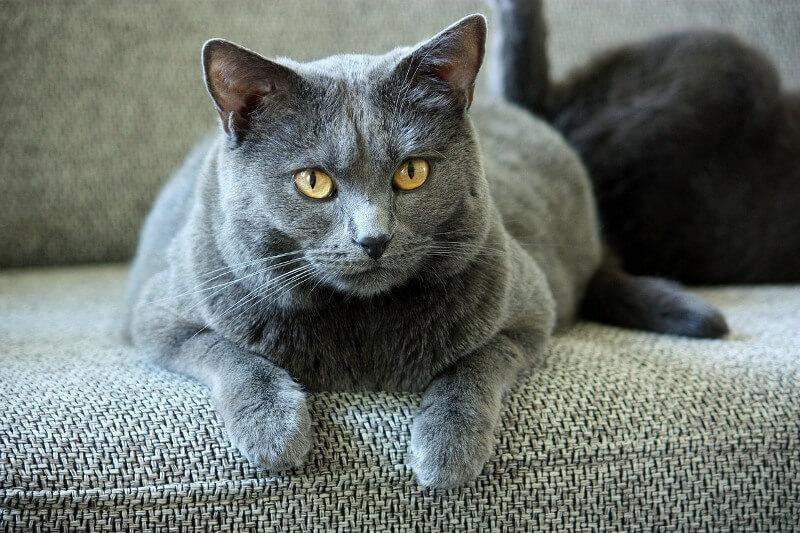 Окрас шерсти кошек породы шартрез — серо-голубой цвет всех оттенков