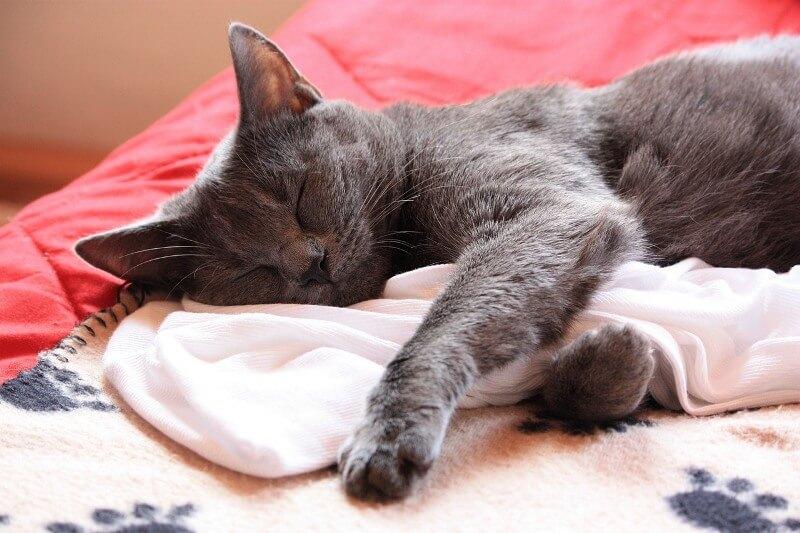 На фото кот породы Шартрез в минуты отдыха