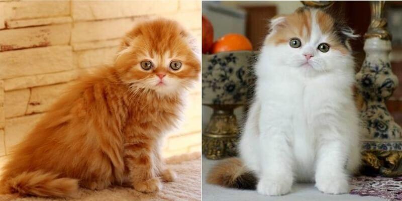 На фото котята породы Хайленд фолд