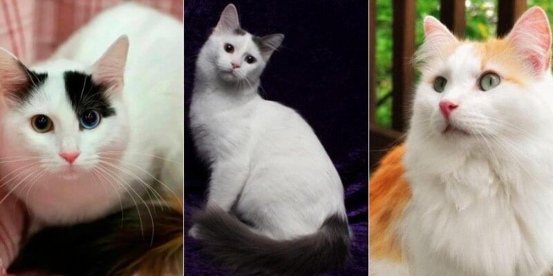 На фото кошки породы Турецкий ван популярных окрасов