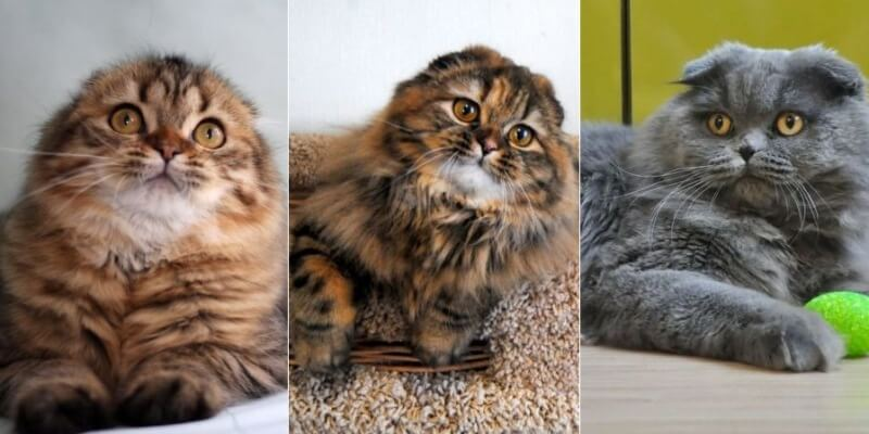 На фото кошки породы Хайленд фолд популярных окрасов