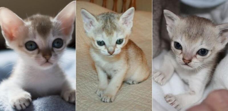 На фото котята сингапурской породы